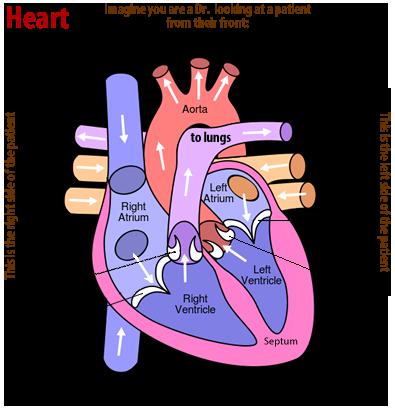 Cardiovascular system review key